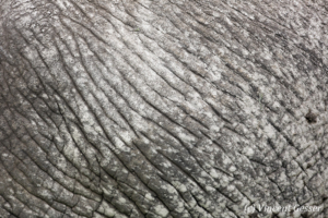 African elephant (Loxodonta africana) skin detail, Amboseli National Park, Kenya