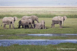 African elephant (Loxodonta africana) family near a swap, Amboseli National Parki, Kenya, 1