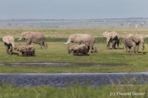 African elephant (Loxodonta africana) family near a swap, Amboseli National Parki, Kenya, 2