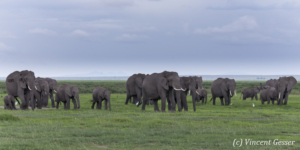 African elephant (Loxodonta africana) family walking on the open plain, Amboseli National Park, Kenya, 1