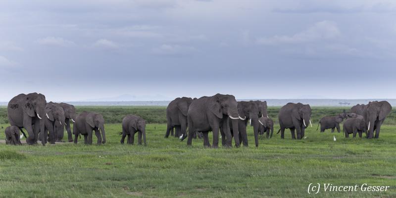 African elephant (Loxodonta africana) family walking on the open plain, Amboseli National Park, Kenya, 1