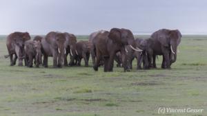 African elephant (Loxodonta africana) family walking on the open plain, Amboseli National Park, Kenya, 2