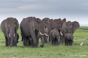African elephant (Loxodonta africana) family walking on the open plain, Amboseli National Park, Kenya, 3
