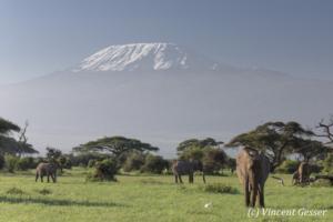 African elephant (Loxodonta africana) group walking in front of Mount Kilimajaro, Amboseli National Park, Kenya, 3