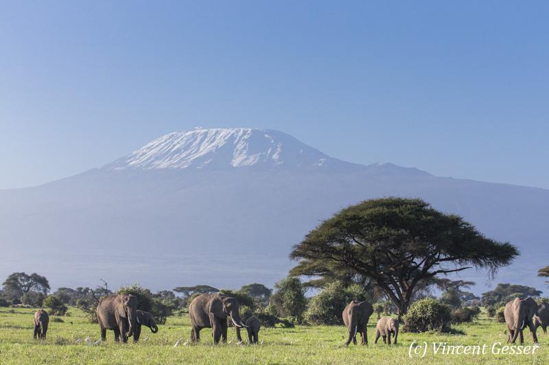 African elephant (Loxodonta africana) group walking in front of Mount Kilimajaro, Amboseli National Park, Kenya, 5