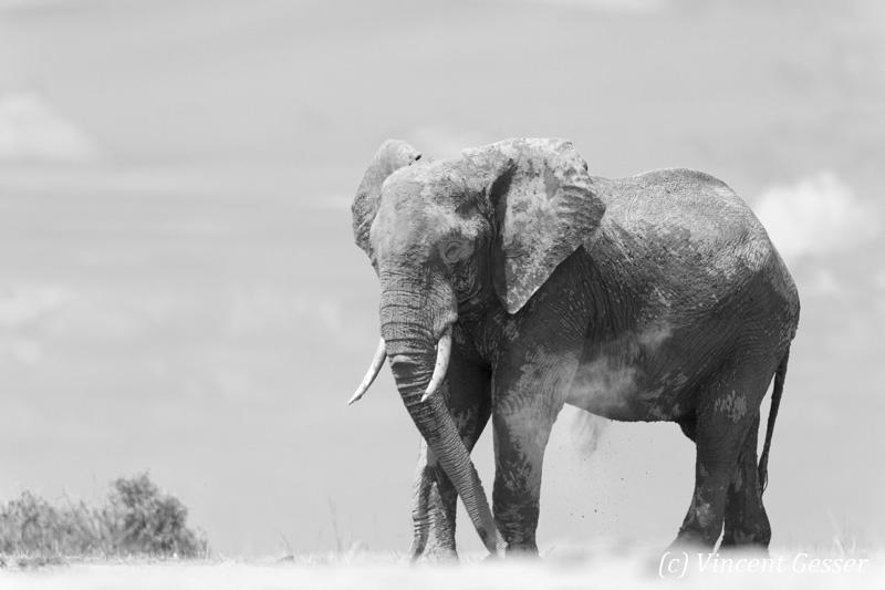 African elephant (Loxodonta africana) playing in the dust of Lake Amboseli, Amboseli National Park, Kenya, 1