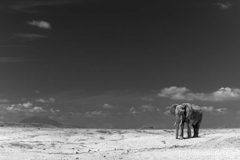 African elephant (Loxodonta africana) walking alone on the sand of Lake Amboseli, Amboseli National Park, Kenya, 1
