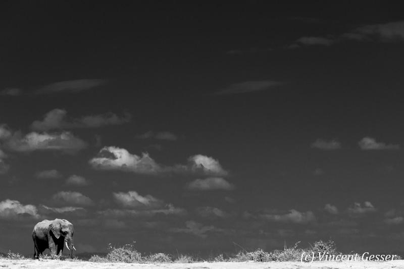 African elephant (Loxodonta africana) walking alone on the sand of Lake Amboseli, Amboseli National Park, Kenya, 3