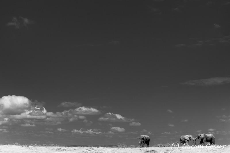 African elephant (Loxodonta africana) group of three walking and sparring on the sand of Lake Amboseli, Amboseli National Park, Kenya, 1