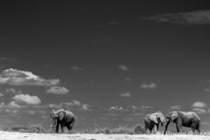 African elephant (Loxodonta africana) group of three walking and sparring on the sand of Lake Amboseli, Amboseli National Park, Kenya, 2