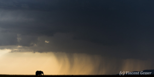 African elephant (Loxodonta africana) walking toward rain curtain at dusk, Masai Mara National Reserve, Kenya, 1