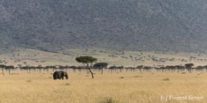 African elephant (Loxodonta africana) roaming Paradise Plains, Masai Mara National Reserve, Kenya, 1