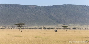 African elephant (Loxodonta africana) roaming Paradise Plains, Masai Mara National Reserve, Kenya, 2