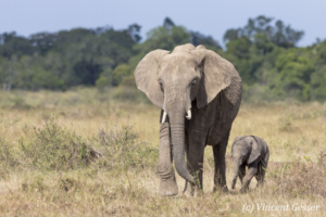 African elephant (Loxodonta africana) mother walking with her young baby, Masai Mara National Reserve, Kenya