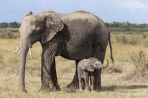 African elephant (Loxodonta africana) young baby smelling, Masai Mara National Reserve, Kenya, 1