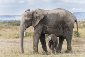 African elephant (Loxodonta africana) young baby smelling, Masai Mara National Reserve, Kenya, 2
