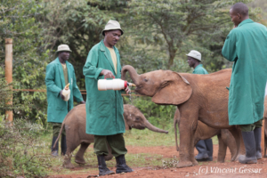 Young orphan African elephants (Loxodonta africana) with their carer, David Sheldrick Wildlife Trust, Kenya, 1