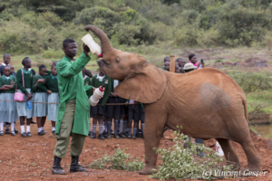 Young orphan African elephants (Loxodonta africana) with their carer, David Sheldrick Wildlife Trust, Kenya, 2