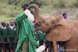 Young orphan African elephants (Loxodonta africana) with their carer, David Sheldrick Wildlife Trust, Kenya, 3