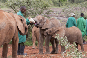 Young orphan African elephants (Loxodonta africana) with their carer, David Sheldrick Wildlife Trust, Kenya, 4