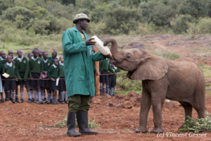 Young orphan African elephants (Loxodonta africana) with their carer, David Sheldrick Wildlife Trust, Kenya, 5