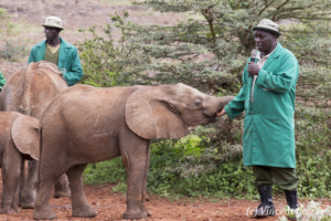 Young orphan African elephants (Loxodonta africana) with their carer, David Sheldrick Wildlife Trust, Kenya, 6