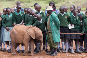 Young orphan African elephants (Loxodonta africana) with their carer, David Sheldrick Wildlife Trust, Kenya, 7