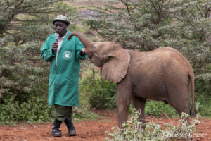 Young orphan African elephants (Loxodonta africana) with their carer, David Sheldrick Wildlife Trust, Kenya, 8