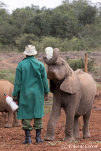 Young orphan African elephants (Loxodonta africana) with their carer, David Sheldrick Wildlife Trust, Kenya, 9