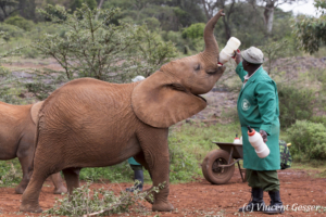 Young orphan African elephants (Loxodonta africana) with their carer, David Sheldrick Wildlife Trust, Kenya, 10