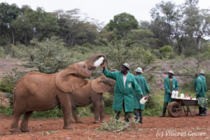 Young orphan African elephants (Loxodonta africana) with their carer, David Sheldrick Wildlife Trust, Kenya, 11