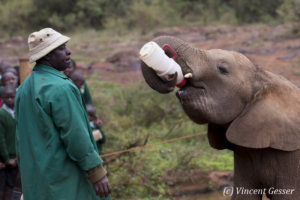 Young orphan African elephants (Loxodonta africana) with their carer, David Sheldrick Wildlife Trust, Kenya, 12