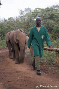 Young orphan African elephants (Loxodonta africana) with their carer, David Sheldrick Wildlife Trust, Kenya, 13