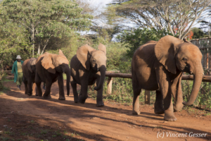 Young orphan African elephants (Loxodonta africana) with their carer, David Sheldrick Wildlife Trust, Kenya, 14
