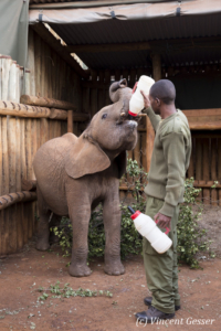 Young orphan African elephants (Loxodonta africana) with their carer, David Sheldrick Wildlife Trust, Kenya, 15