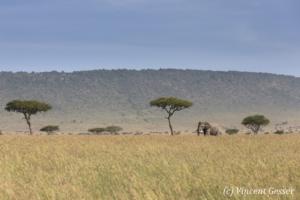 African elephant (Loxodonta africana) roaming the savannah, Masai Mara National Reserve, Kenya