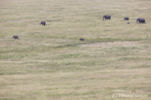 African elephant family (Loxodonta africana) roaming the savannah, Masai Mara National Reserve, Kenya, 1