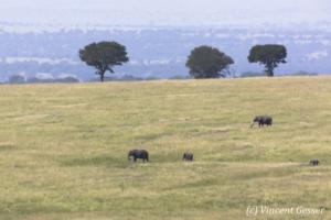 African elephant family (Loxodonta africana) roaming the savannah, Masai Mara National Reserve, Kenya, 2