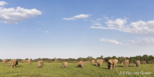 African elephant family (Loxodonta africana) grazing, Masai Mara National Reserve, Kenya