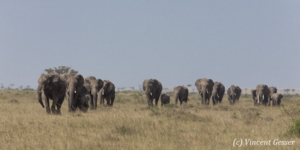 African elephant family (Loxodonta africana) on their way, Masai Mara National Reserve, Kenya