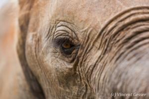 African elephant (Loxodonta africana) eye detail, Masai Mara National Reserve, Kenya, 1