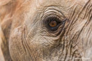 African elephant (Loxodonta africana) eye detail, Masai Mara National Reserve, Kenya, 2