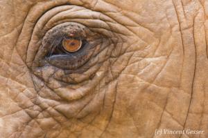 African elephant (Loxodonta africana) eye detail, Masai Mara National Reserve, Kenya, 3