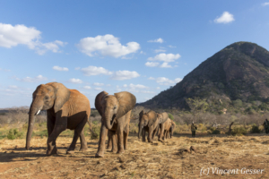 Young African elephants (Loxodonta africana) returning to the David Scheldick Wildlife Trust stockade for the night, Tsavo East National Park, Kenya, 6