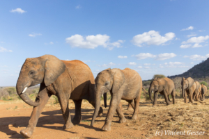 Young African elephants (Loxodonta africana) returning to the David Scheldick Wildlife Trust stockade for the night, Tsavo East National Park, Kenya, 8