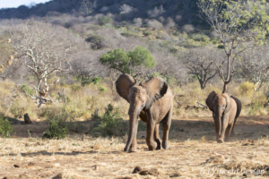 Young African elephants (Loxodonta africana) returning to the David Scheldick Wildlife Trust stockade for the night, Tsavo East National Park, Kenya, 9
