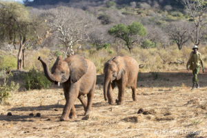 Young African elephants (Loxodonta africana) returning to the David Scheldick Wildlife Trust stockade for the night, Tsavo East National Park, Kenya, 11