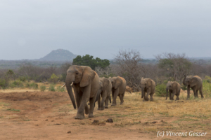 Young African elephants (Loxodonta africana) returning to the David Scheldick Wildlife Trust stockade for the night, Tsavo East National Park, Kenya, 12