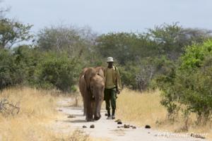 Young African elephants (Loxodonta africana) walking with David Scheldick Wildlife Trust carer, Tsavo East National Park, Kenya, 1