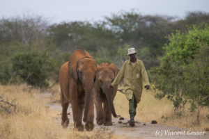 Young African elephants (Loxodonta africana) walking with David Scheldick Wildlife Trust carer, Tsavo East National Park, Kenya, 2